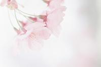桜 ISO100編 その6 - photomo
