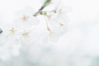桜 ULTRAMAX編 - photomo