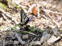 吸蜜するギフチョウ - コーヒー党の野鳥と自然 パート2