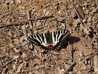 ギフチョウの交尾も撮れました - コーヒー党の野鳥と自然 パート2