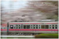 京王線8000系と見納め桜 - 明日には明日の風が吹く