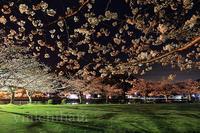 片上公園の夜桜 - みちはた写真館フォトギャラリー