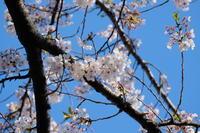桜おしまい - 錦眼鏡