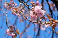 八重桜 - 錦眼鏡