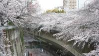 神田川の桜 - belakangan ini