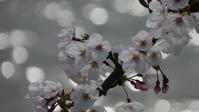 キラキラと桜 - 散歩日和