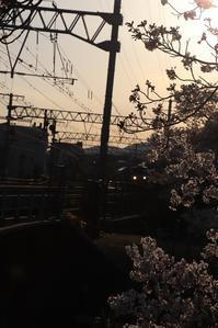 藤田八束の鉄道写真@桜満開、春爛漫の夙川公園を快走する貨物列車「桃太郎」、春は桜の季節・鉄道写真と桜は最高 - 藤田八束の日記