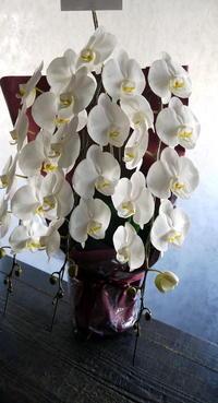 社長就任のお祝いに鉢物の胡蝶蘭。南1東1にお届け。2019/04/12。 - 札幌 花屋 meLL flowers