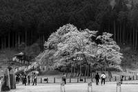 淡墨桜その2モノクロ - え~えふ写真館
