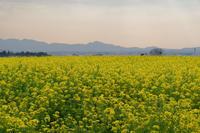 菜の花畑と二上山 - katsuのヘタッピ風景