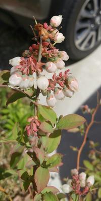 ブルーベリーの花が咲く♪♪ - Cozyで楽しい暮らしに憧れて♪