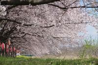 小さなローズガーデンに咲く花と地元の桜巡り - 季節の風を追いかけて
