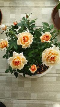 ミニバラの知識 - 箱庭の小さな薔薇の記録