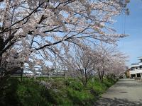 今年の桜 - as call quietly to something vient49の日記