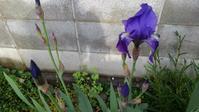 アヤメ開花 - うちの庭の備忘録 green's garden