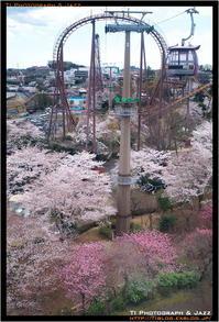 よみうりランドの桜 Part 2 - TI Photograph & Jazz