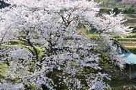 里の桜(二) - 123!