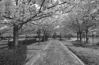 名残桜 - ON THE CORNER