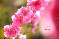 花見山で 娘とカメラ女子  vol.2 - C* 日和
