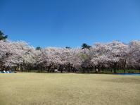 桜を楽しむ - 自分流 Happy Life