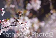 ~ ニュウナイスズメの春 ~2019.4.13 - Yathbee's Photo 2