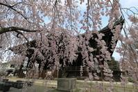 3月28日に見た枝垂れ桜たち - ぴんぼけふぉとぶろぐ2