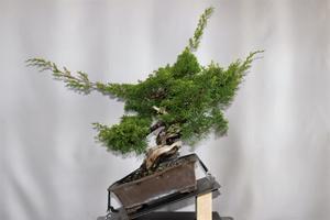 真柏の整枝 - 雨宮園 ☆~盆栽・山野草・陶芸~☆趣味が仕事でも・・・。
