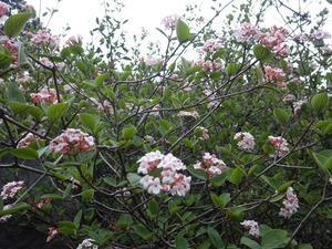 平尾台の気になるお花・・チョウジガマズミ、山芍薬 -