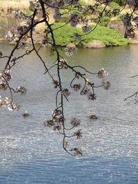 東浦和の桜と乙女椿 - 活花生活(2)