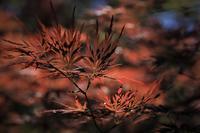 紅葉よりも赤く - 夢・ファンダンゴ