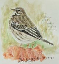 #野鳥スケッチ #ネイチャー・ジャーナル『田雲雀』 Anthus spinoletta - スケッチ感察ノート (Nature journal)