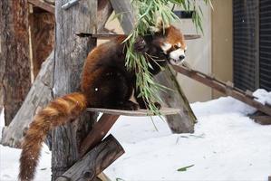 冬のおわりの旭山詣・その2 - レッサーパンダ☆もふてく放浪記