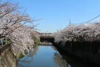 ご近所川沿いの桜☆満開前に。。。 - Let's Enjoy Everyday!
