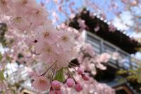 枝垂桜 - ココロのままにゆるりぱちり