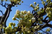 花の進み具合 - リンゴ園で想う