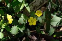 ■ミツバ… 3種19.4.15(ミツバツチグリ、ミツバツツジ、ミツバアケビ) - 舞岡公園の自然2