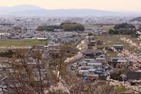 甘樫の丘で桜を愛でる4月5日 - ratoの山歩き