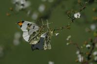 ギックリでご近所蝶撮り - 元 子連れバーダーの日々 BLOG