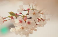 サクラパート⑤ - 花々の記憶
