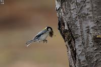シジュウカラのマイホーム - 野鳥公園