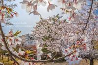 福山城の桜 - *花音の調べ*