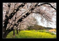 河川敷の桜 - Desire