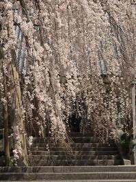 桜めぐり2019~宝蔵寺~(4/9) - ばってらの放浪季