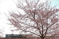 桜散り始め - 今日も丹後鉄道