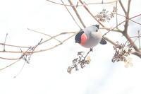 雪ウソ - 上州自然散策2
