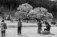 淡墨桜を撮る - え~えふ写真館