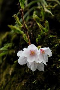 胴吹きの花 - memory