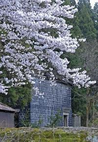 尾小屋鉱山・満開の桜とカラミ煉瓦の蔵 - 萩原義弘のすかぶら写真日記