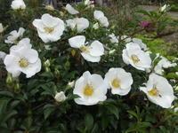 浪花茨 - だんご虫の花