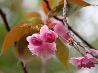 八重桜の季節 - いや、だから 姉ちゃん じゃなくて ネイチャー・・・